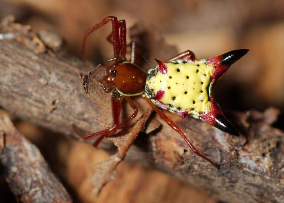 Arrowhead Micrathena - Micrathena sagittata - female