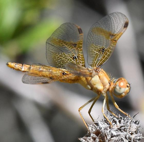 Very small Dragonfly - Perithemis intensa - female