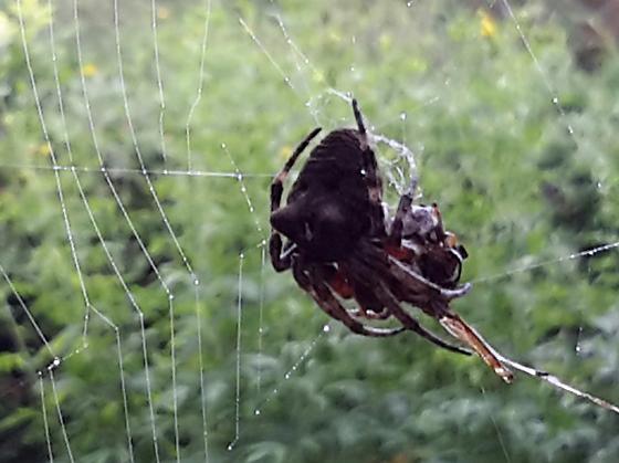 Spider for bugguide - Araneus