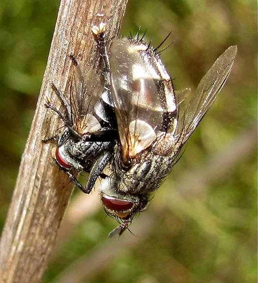 What fly, please? - Chetogena tachinomoides - male - female
