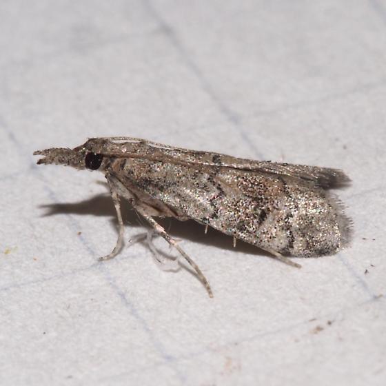 Hodges#5642 - Cacotherapia flexilinealis