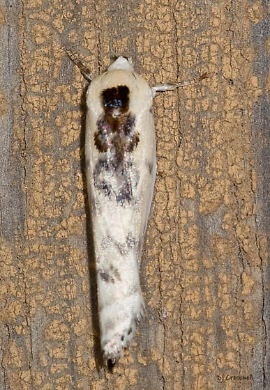 Moth 4:  Antaeotricha schlaegeri I believe - Antaeotricha schlaegeri