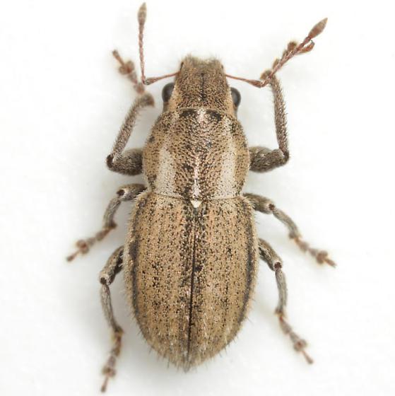 Naupactus peregrinus (Buchanan) - Naupactus peregrinus