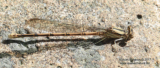 Odonate - Argia fumipennis - female