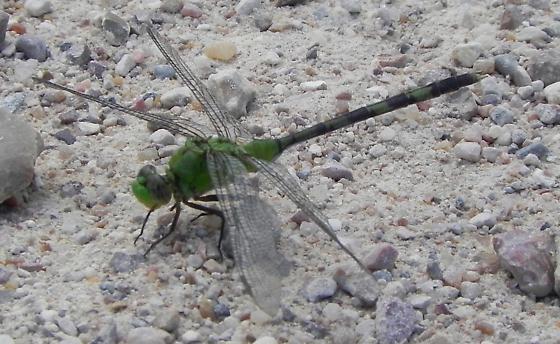 TX - Great Pondhawk - Erythemis vesiculosa