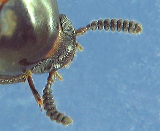 Diaperine fungus beetle - Diaperis maculata