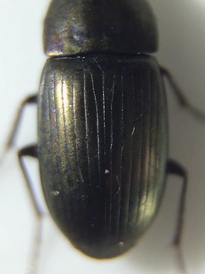 Carabid - Stenocrepis duodecimstriata