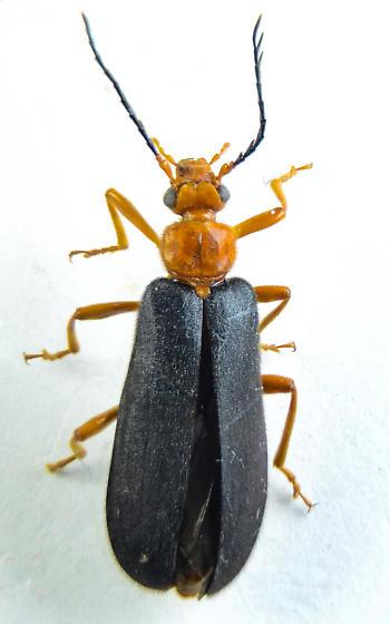 Neopyrochroa flabellata? - Neopyrochroa flabellata - male