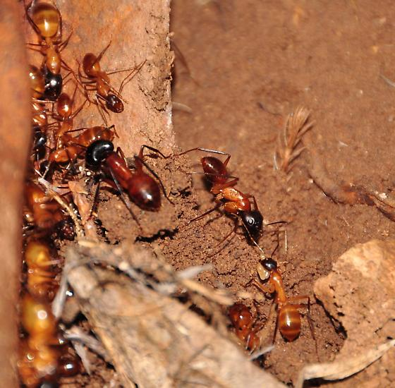 Ant or termite? - Camponotus
