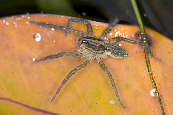 Water Spider - Tigrosa
