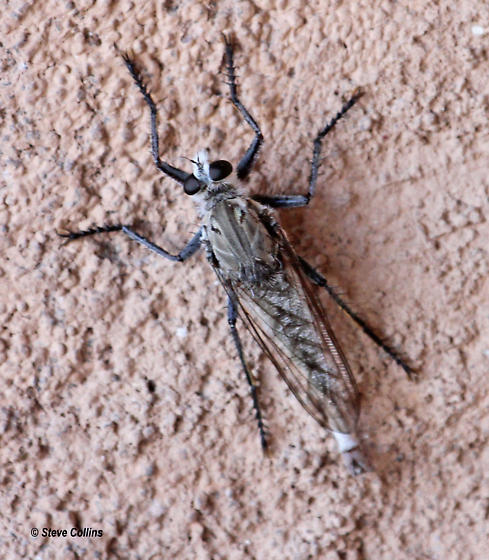 Proctacanthus nearno