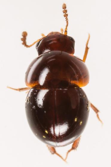 Beetle - Agathidium oniscoides - female