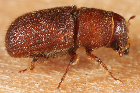 unknown small beetle - Dendroctonus valens