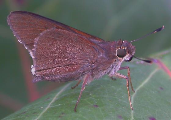 Skipper - Asbolis capucinus