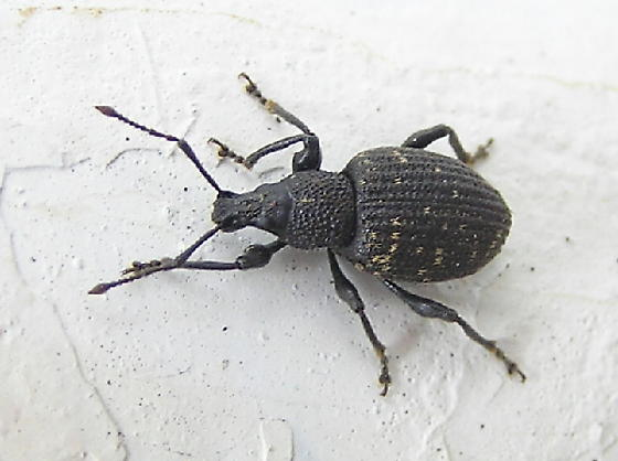 A beetle to ID - Otiorhynchus sulcatus