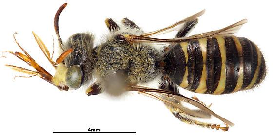 Calliopsis filiorum M AMNH BEE-HOLOTYPE - Calliopsis filiorum - male