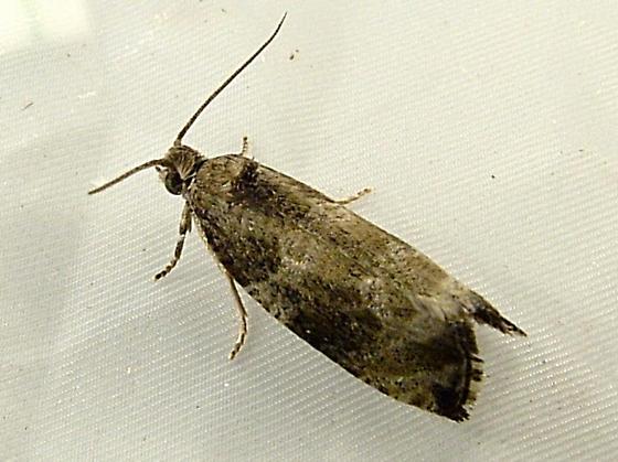 2149b Olethreutes appendiceum - Serviceberry Leafroller Moth 2821 - Olethreutes appendiceum