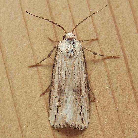 Noctuidae: Crambodes talidiformis - Crambodes talidiformis