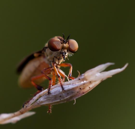Robberfly ? - Holcocephala fusca