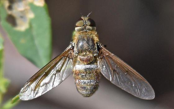 E fasciata group - Exoprosopa
