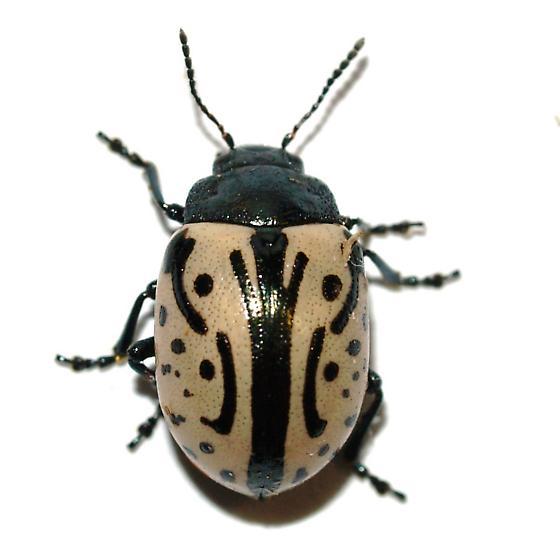 Chrysomelidae - Calligrapha dislocata