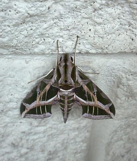 Sphinx moth- what species? - Eumorpha vitis