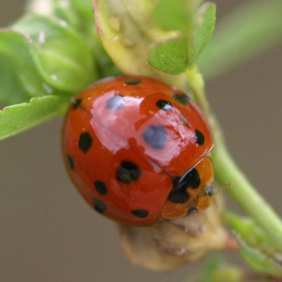 Ladybird..?? - Harmonia dimidiata