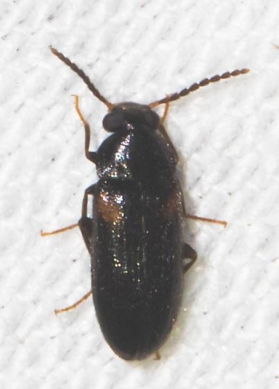 Orange-marked black beetle - Mycetochara