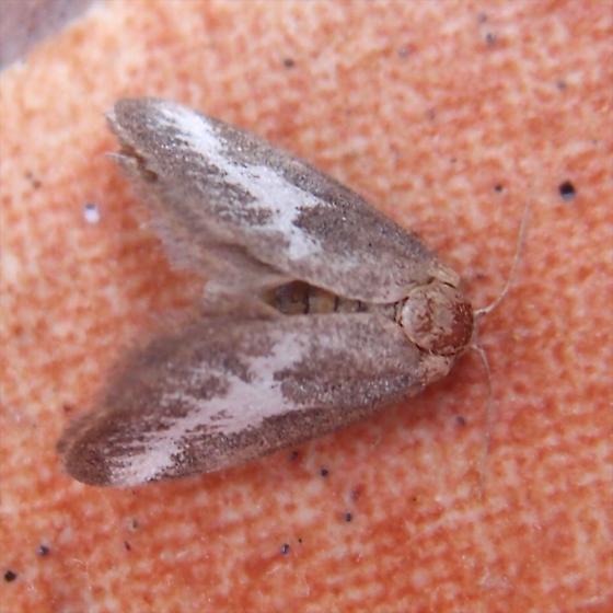 gray and white moth - Cryptophobetron oropeso