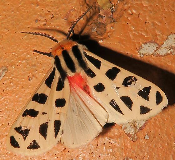Mexican Tiger Moth - Apantesis proxima - male