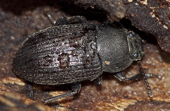 Beetle in rotting log - Alaetrinus