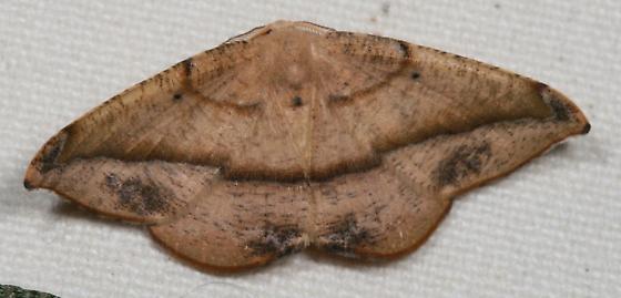 moth - Patalene olyzonaria