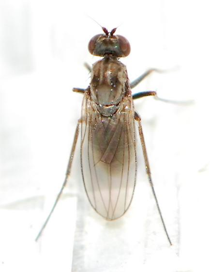 sitting fly - Medetera