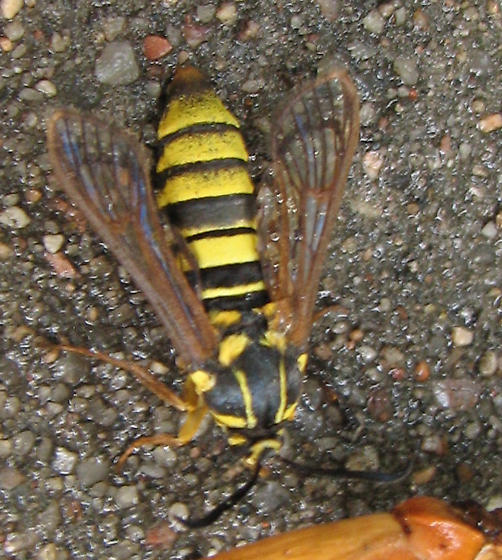 NOT a Vespula squamosa -- some type of clearwing moth. - Sesia tibiale