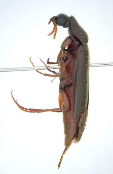 Ship Timber Beetle - Melittomma sericeum - female