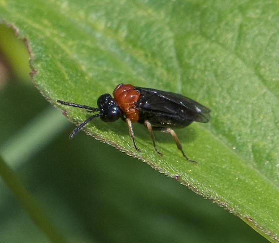 Sawfly – Eutomostethus ephippium? - Eutomostethus ephippium