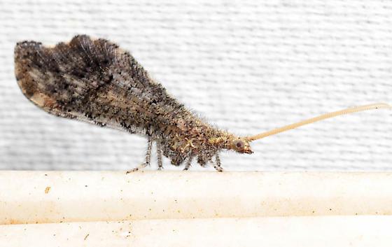 Lomamyia sp. - Lomamyia