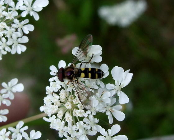 Syrphidae - Melangyna