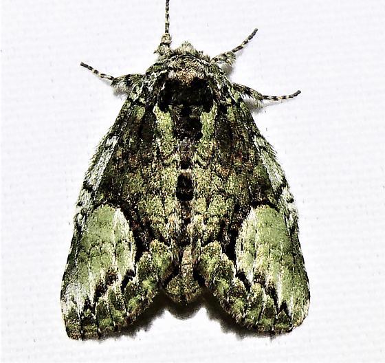7990   White-blotched Heterocampa Moth    (Heterocampa umbrata)  - Heterocampa umbrata