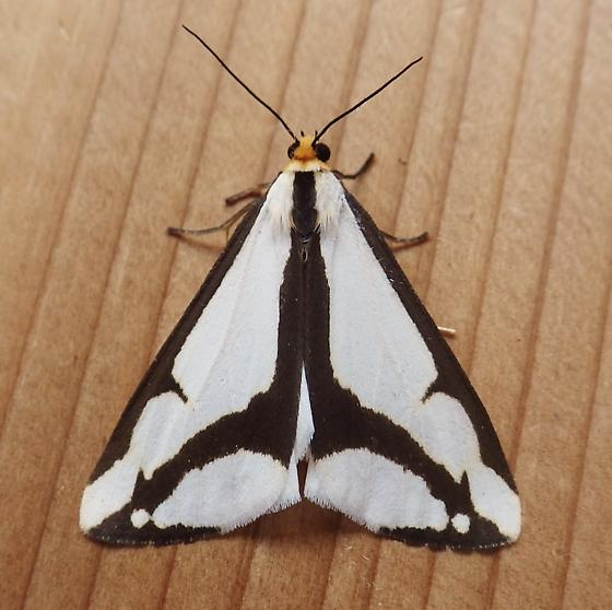 Erebidae: Haploa lecontei - Haploa lecontei