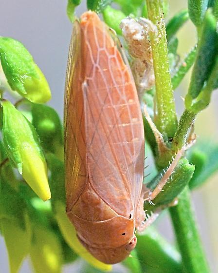Large Leafhopper ~9mm - Gypona