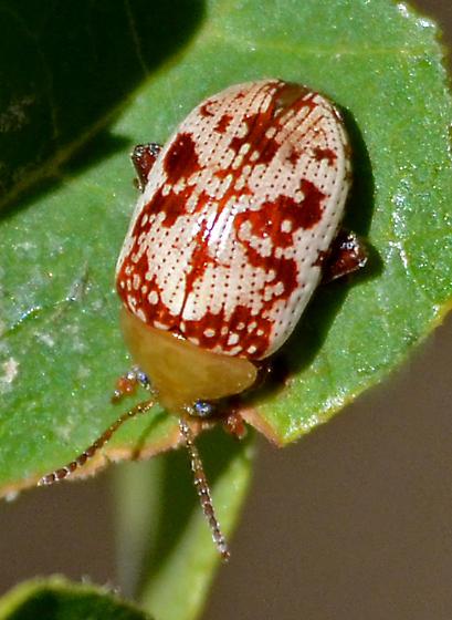 Paisley Bug - Blepharida rhois