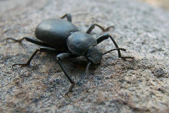 Darkling Beetle (Coelocnemis sp) - Coelocnemis californica