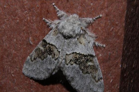 Unknown Moth - Gluphisia septentrionis