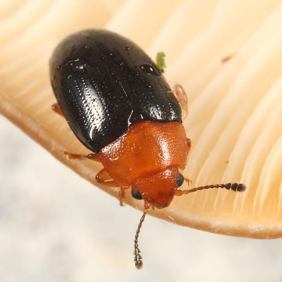 Pleasing Fungus Beetle - Triplax thoracica