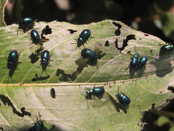 Chrysomelidae - Gastrophysa