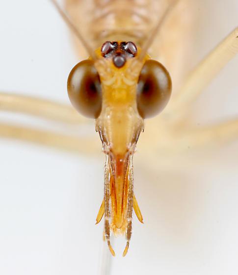 BG889 C8069 - Bittacus pilicornis - female