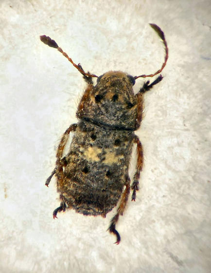 Fungus Beetle - Toxonotus cornutus