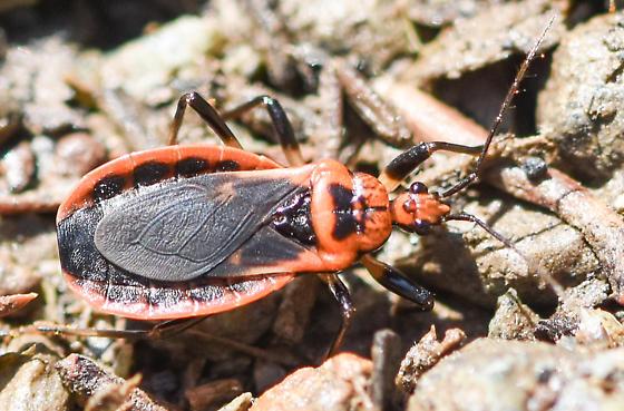 bug052619a-7 - Rhiginia cruciata