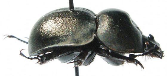 Mycotrupes gaigei - male
